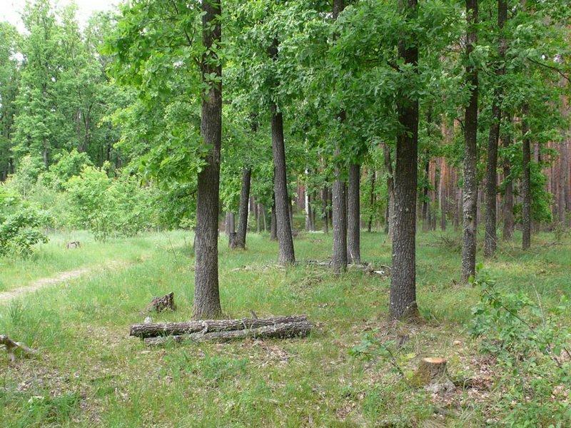 Дубовый лес с грибами