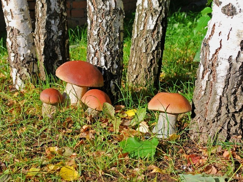 Березовый белый гриб на фото