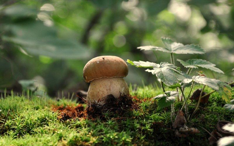 Белый гриб дубовый на фото