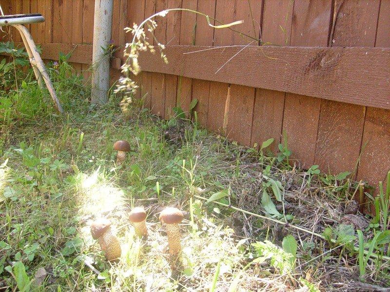 На фото белые грибы на даче