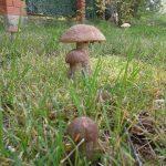 Чем отличается белый гриб от боровика