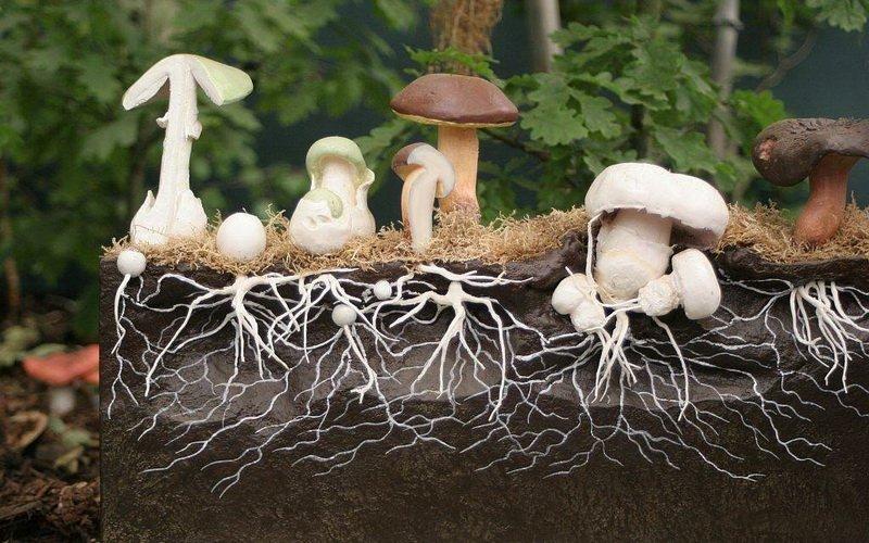 Выращивание белых грибов на приусадебном участке: посадка мицелия