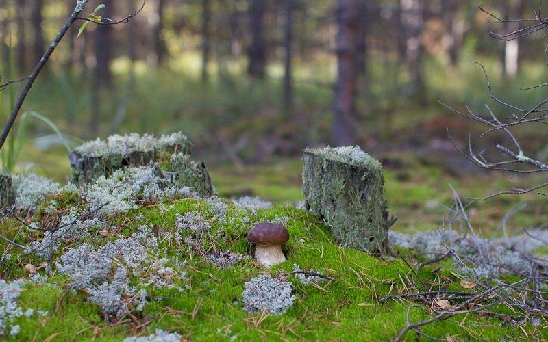 Где растут белые грибы: в каким лесах можно найти боровики фото