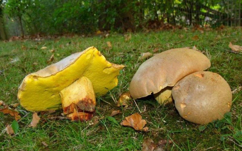 Какие бывают виды белых грибов и как их отличить от двойников (с фото)