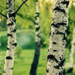 Железное дерево (каменное дерево): характеристика и виды