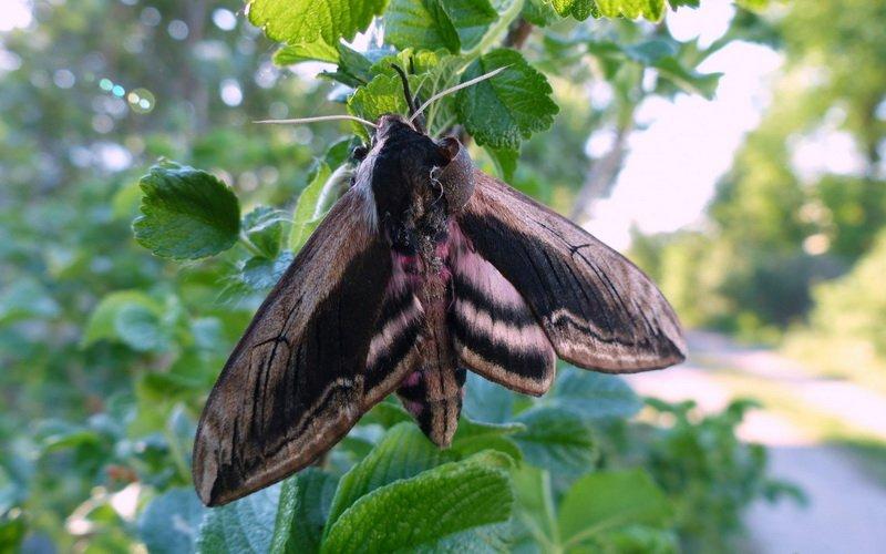Озимая совка фиолетово-серая: как избавиться от гусениц