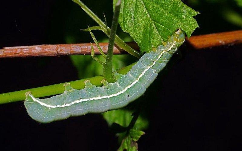 Озимая совка фиолетово-серая: как избавиться от гусениц фото