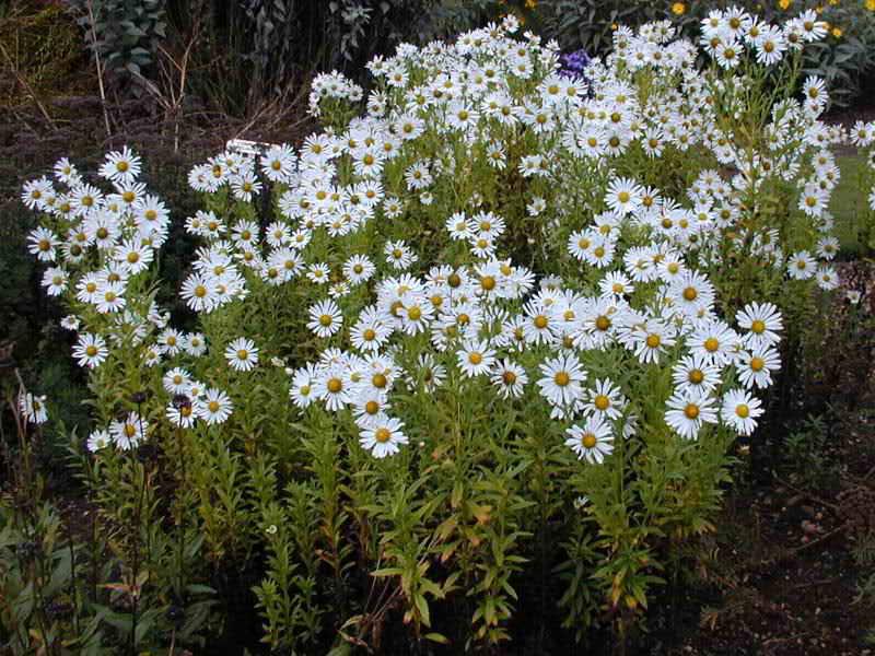 Болезни садовых цветов
