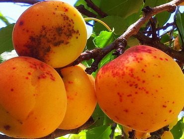 Болезни и вредители абрикоса: борьба с ними