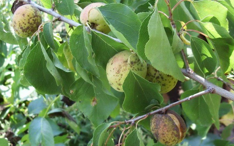 Бурая пятнистость, или гномониоз, абрикоса