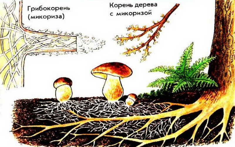 Симбиоз грибов с корнями высших растений