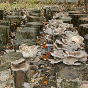 Технология выращивания грибов вешенок на пнях