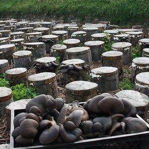 Эффективный способ выращивания грибов вешенок на пеньках