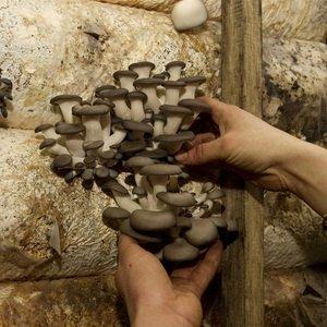 Выращивание вешенок в мешках с соломой