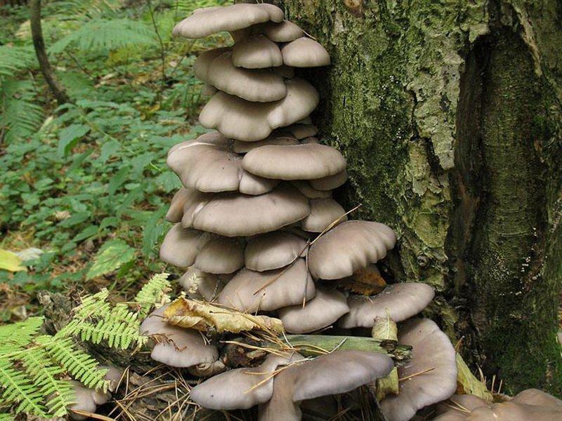 нашей публикации грибы вешенки фото где растут произносишь слово