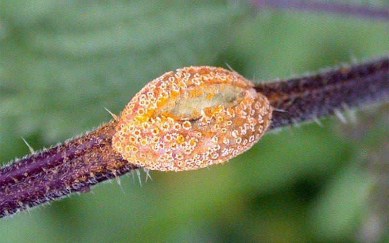 Ржавчина – грибковые заболевания крыжовника (с фото) фото