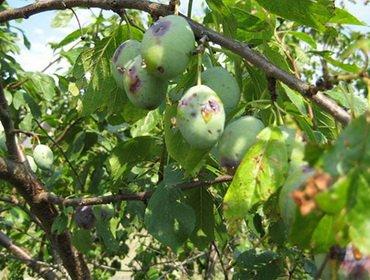 Болезни листьев и плодов сливы (алычи): вредители, лечение, борьба