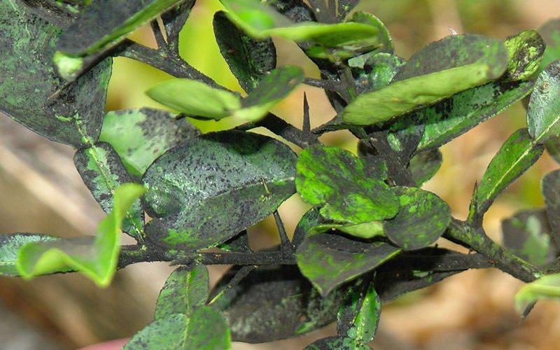 Болезни листьев сливы