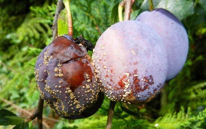 Парша – болезнь плодов сливы и её лечение (с фото) фото