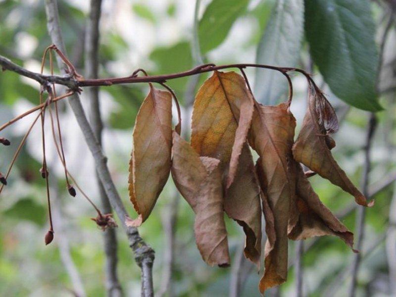 Монилиоз вишни картинки
