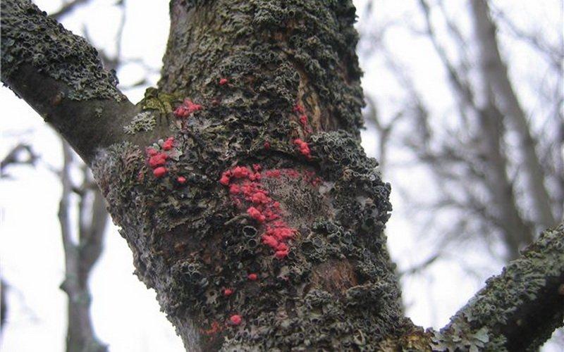 Защита дерева яблони от болезни усыхания