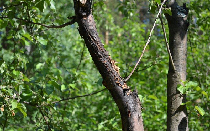 Весенние болезни веток яблонь