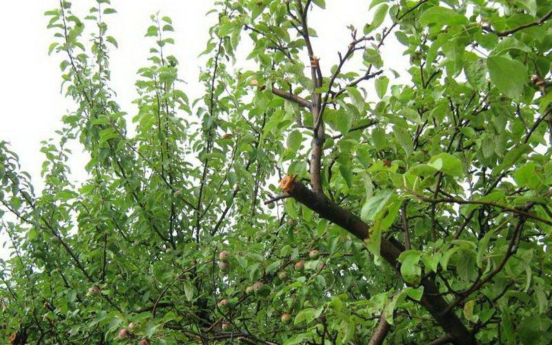 Весенние болезни веток яблонь фото