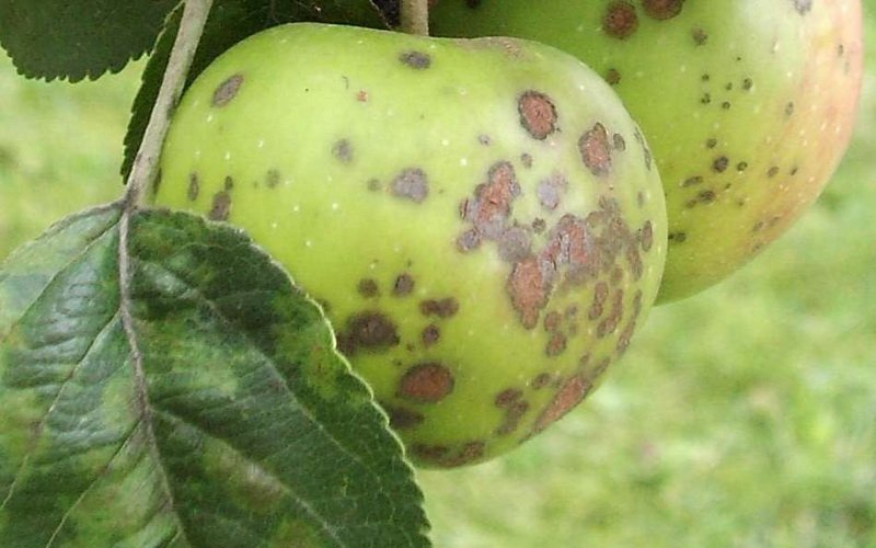 Болезни ствола яблонь: их признаки и лечение (с фото) фото
