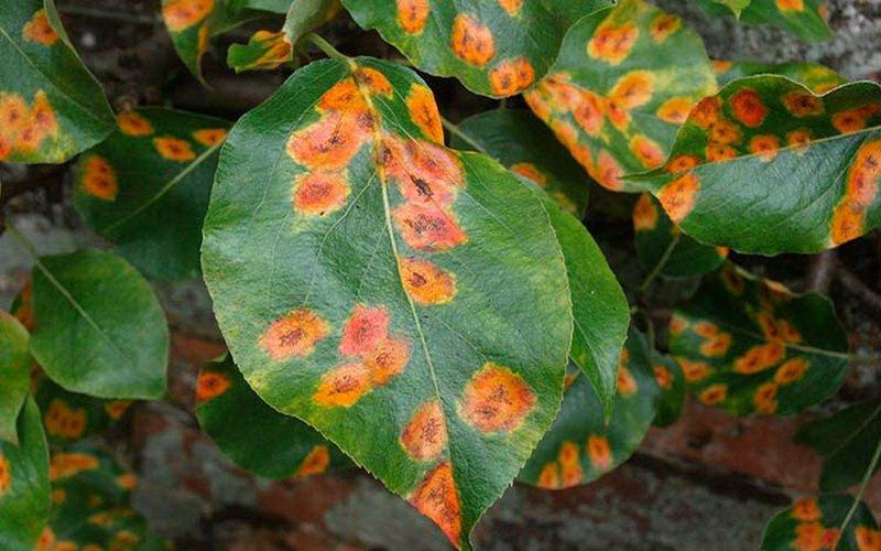 Болезни на листьях яблони: фото, как бороться