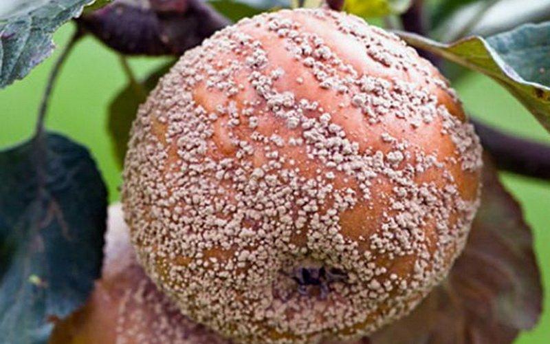 Монилиоз – болезнь саженцев яблонь в картинках