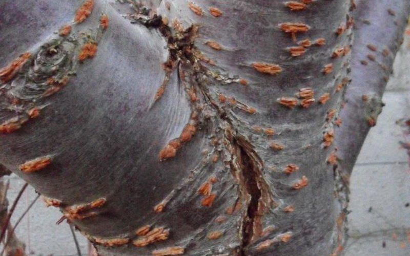 Неинфекционные болезни яблонь и их лечение (с видео) фото