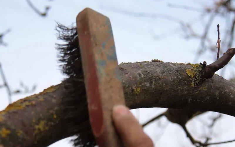 Лишайниковые болезни яблонь: описание с фотографиями фото