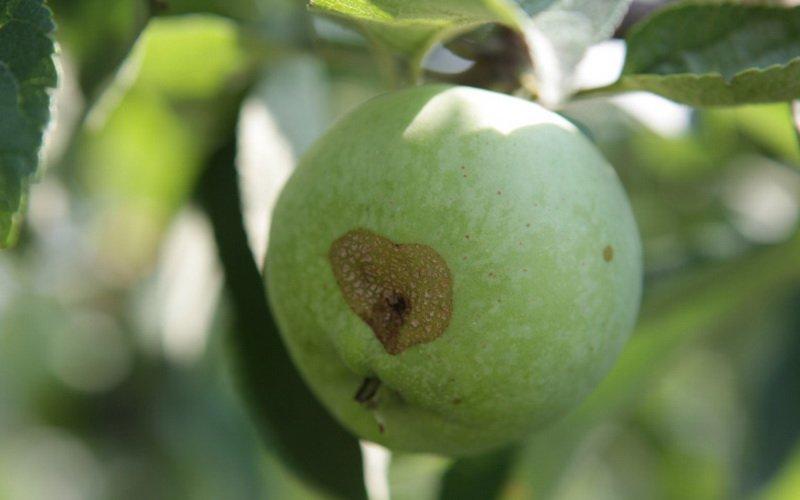 Неинфекционные болезни яблонь и их лечение (с видео)