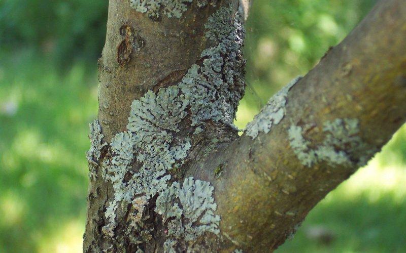 Лишайниковые болезни яблонь: описание с фотографиями