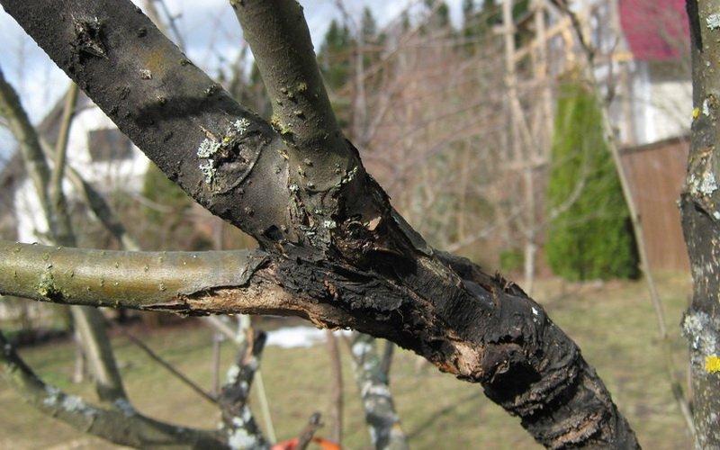 Болезни коры и ствола яблонь и их лечение (с фотографиями) фото