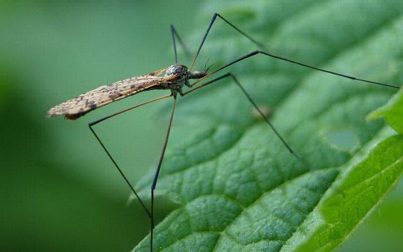Комары-долгоножки.