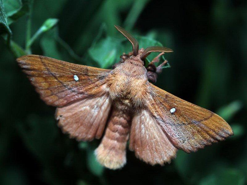 Ночные бабочки виды