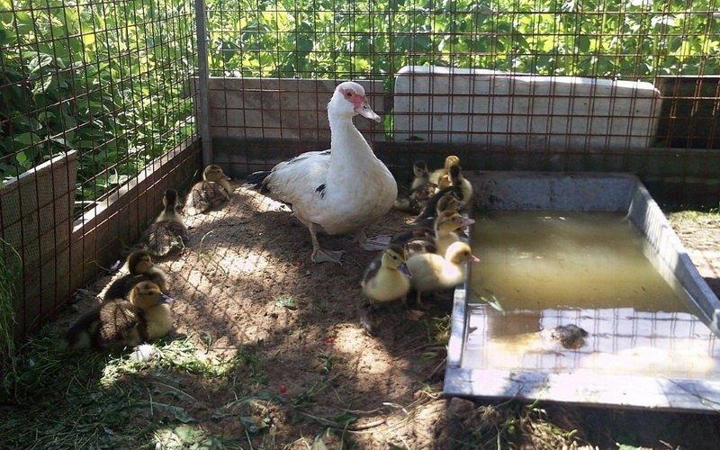 Режим инкубации утиных яиц: температура и влажность в инкубаторе