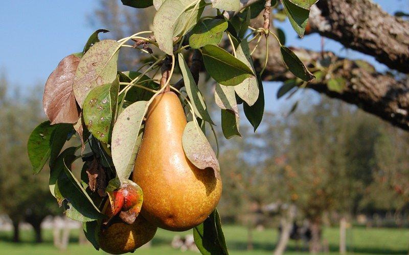 Бурая пятнистость – болезнь листьев груши (с фото)
