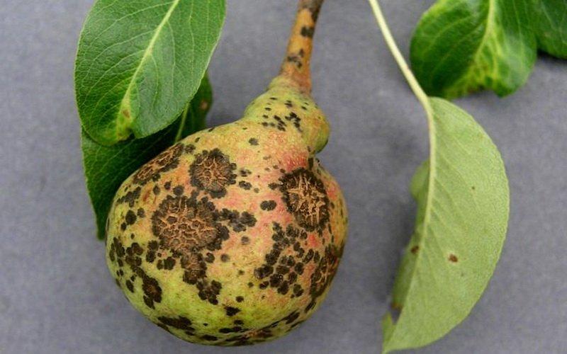 Парша – болезнь молодых плодовых деревьев груши