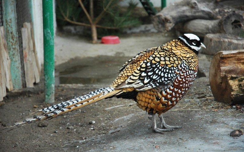 Лучшие породы фазанов: фото и описание фото