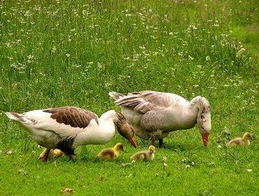 Чем и как лучше кормить домашних гусей: видео, какой корм нужен птицам летом и зимой || Комбикорм для гусят состав польза