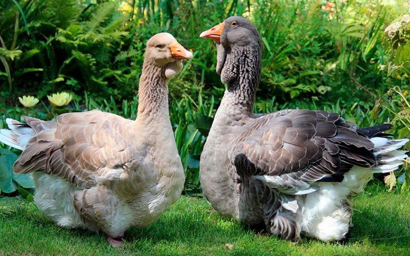 Тулузские гуси.