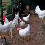 Содержание кур мясо яичных пород