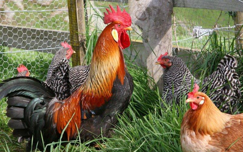 Мясная и яичная продуктивность кросс-пород кур фото