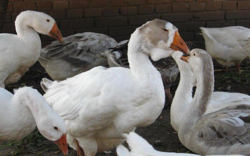 Признаки болезней гусей вирусный энтерит и ампергиллез