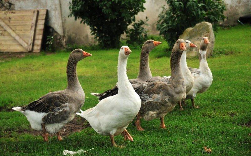Как разводить домашних гусей: племенной отбор