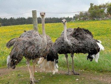 Разведение страусов: правила содержания и кормления