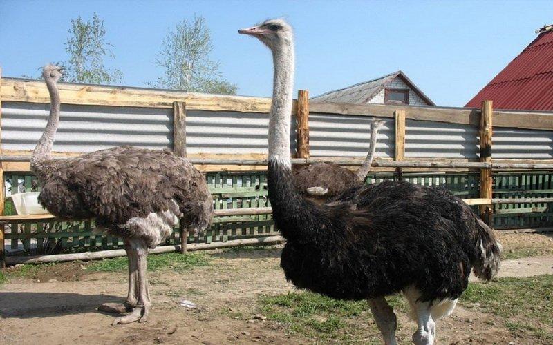 Преимущества разведения страусов
