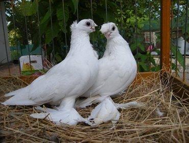 Разведение голубей: условия содержания и уход